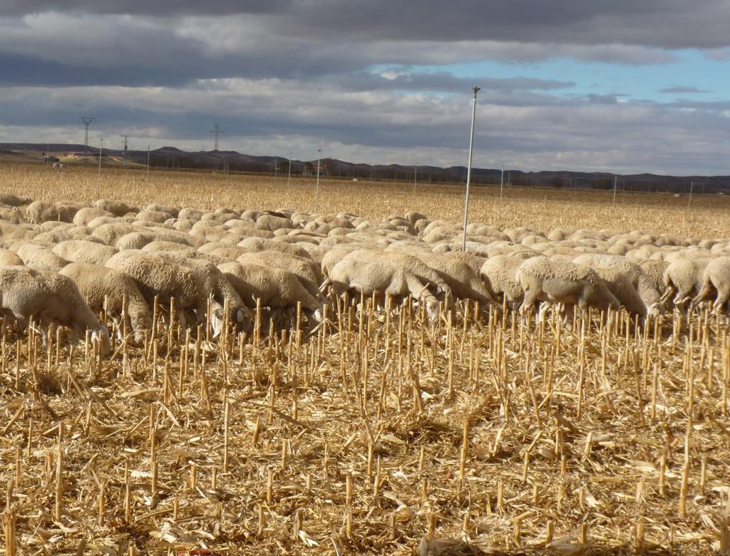 pastoreo ovino en secano